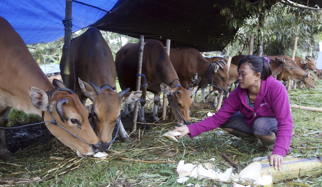 A woman feeds her cows at a shelter in Karangasem, Bali, Indonesia. Villagers have been working to save some of Bali's cows, prized for their hardiness and doe-like temperament, from the tropical island's menacing Mount Agung volcano.