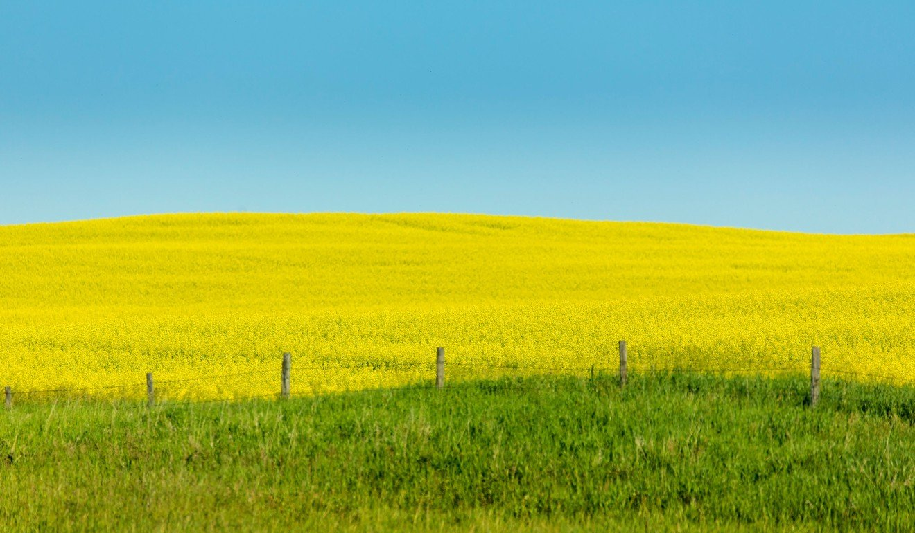 Canola exports generate C$26.7 billion (US$19.9 billion) for the Canadian economy every year. Photo: canolainfo.org