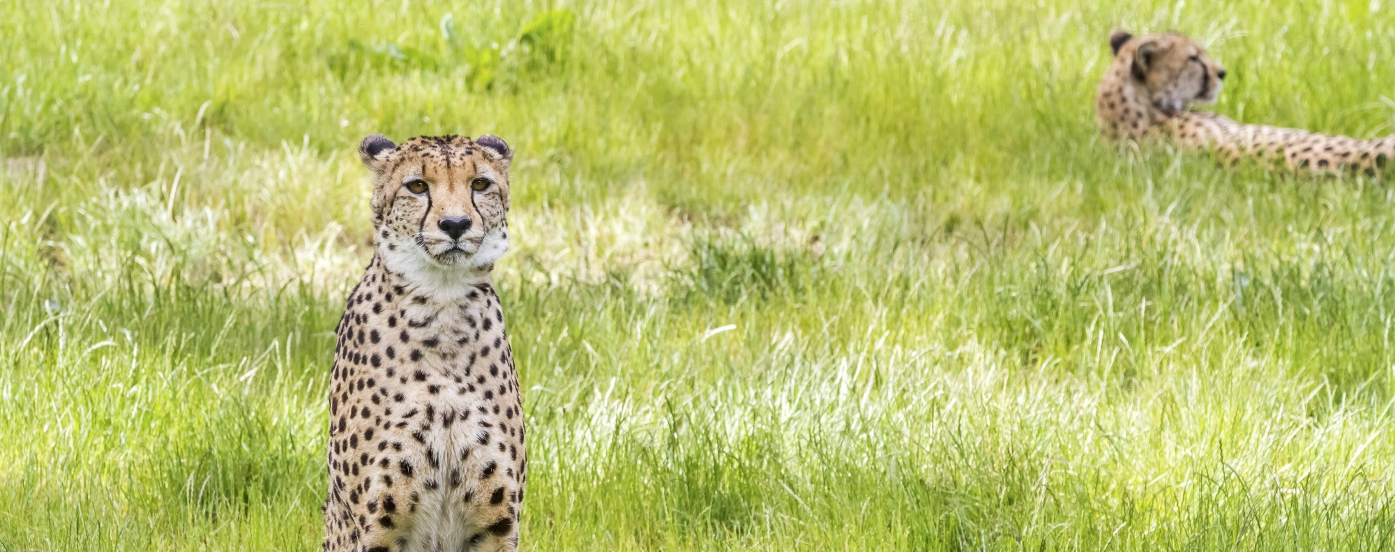Abandoned pastures in Iran give the Asiatic cheetah a new lease on life.