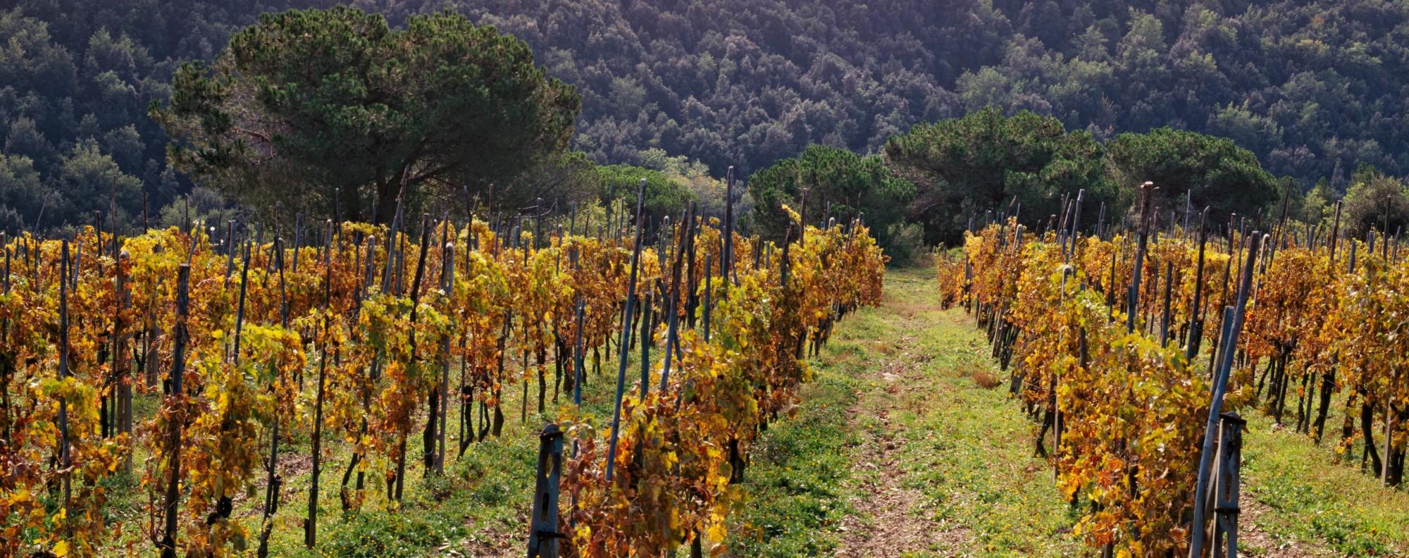 The Querciabella vineyard in Chianti Classico, Tuscany. Picture: Alamy