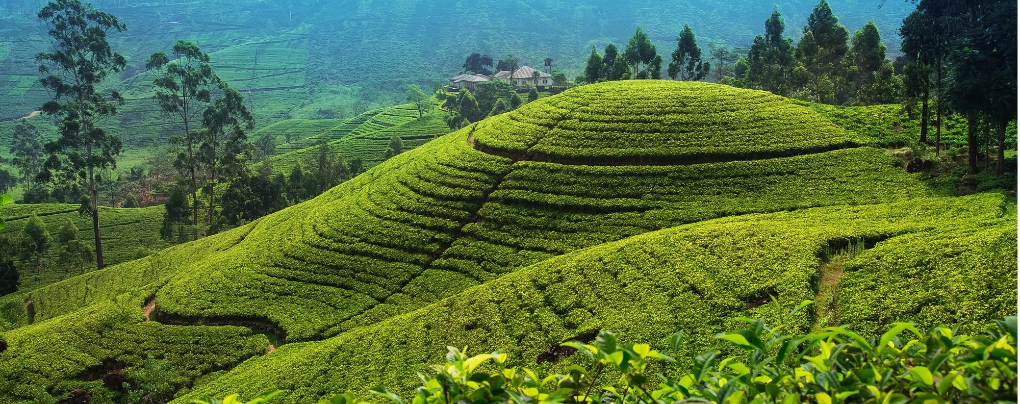 A tea plantation near Nuwara Eliya, in Sri Lanka.