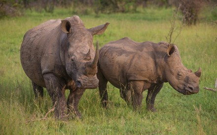 White rhinos are a highly endangered species.