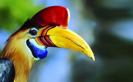 A red-knobbed hornbill in Sulawesi, Indonesia. Photos: Martin Williams, Corbis. CLICK TO LAUNCH BIG PHOTO GALLERY
