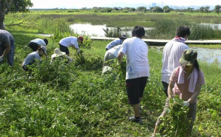 WWF volunteers clear Mikania from the Mai Po wetlands. Photo: WWF Hong Kong