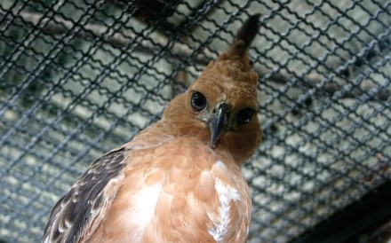 One of Indonesia's national bird, the Javan Hawk-eagle, found in Sundaic Indonesia. Thirteen species of Indonesian birds, including the country's national bird the Javan Hawk-eagle, are at serious risk of extinction mainly due to the pet trade, a wildlife watchdog warned. Photo: AFP