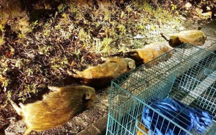 Five young wild pigs died after supposedly being hit by a vehicle in Tai Mo Shan Country Park. Photo: Handout