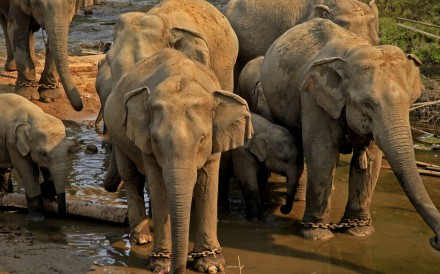 Some 2,000 wild elephants are thought to be left in Myanmar. Photo: Xinhua