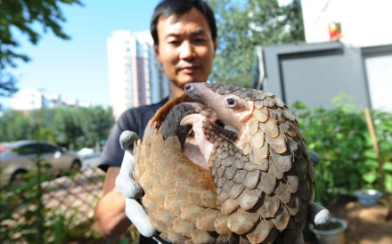 A pangolin is rescued by a citizen in Qingdao, China. The pangolin has been listed as critically endangered, but is considered a delicacy in southern China and Vietnam. There's also an unfounded belief in East Asia that ground-up pangolin scales can stimulate lactation, cure cancer and asthma.Photo: Alamy