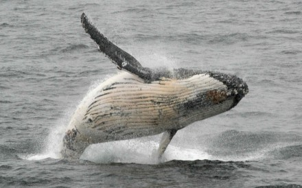 A humpback whale jumps out of the water in the western Antarctic peninsula. Photo: AFP