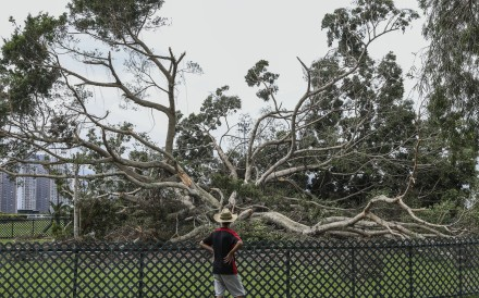 The collapsed banyan tree in Penfold Park near Sha Tin Racecourse after Typhoon Mangkhut. Photo: K.Y. Cheng