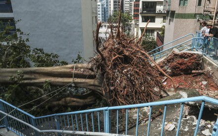 A fallen tree on Wing Lee Street in Sheung Wan, one of the 11 on the heritage list. Photo: Jonathan Wong