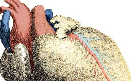 The heart is the first major organ to develop in the human body. Image: Alamy