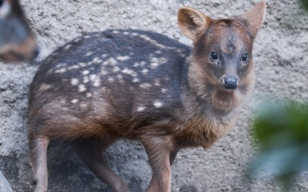 A baby pudu named Haechan inside his enclosure at the Los Angeles Zoo on Thursday. Fans of a Korean pop star raised more than US$2,000 to name the baby deer after the singer. Photo: AP