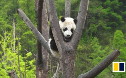 Covering 150 hectares, Wolong Shenshuping Panda Center is home to 55 giant pandas. After the original Hetaoping Panda Base was destroyed in the 2008 Sichuan earthquake, the Hong Kong government...