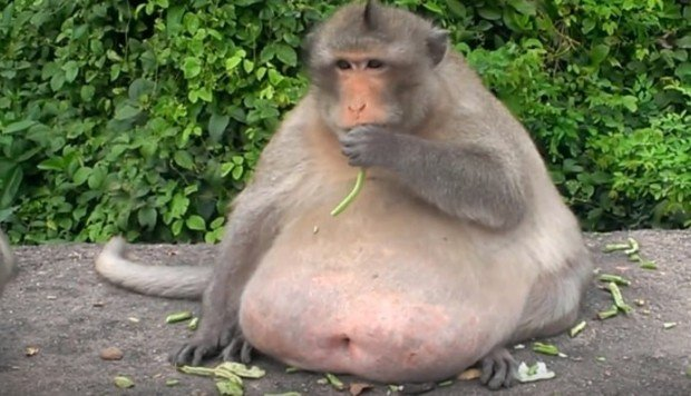 Meet 'Uncle Fat', the chunky monkey now on a crash diet ...