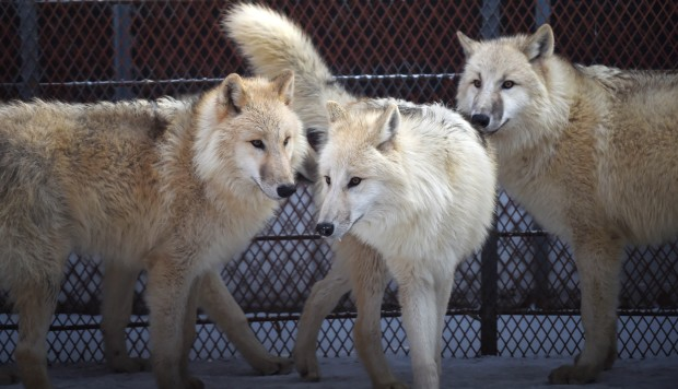 Arctic wolves to go on display at Chinese zoo | South