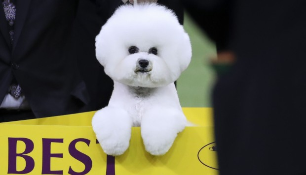 At Westminster Show Fluff Ball Flynn The Bichon Frise Becomes America S Top Dog South China