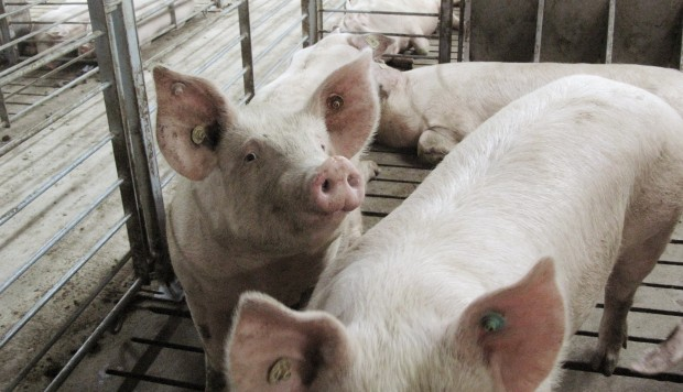 China to tighten controls after swine fever outbreak