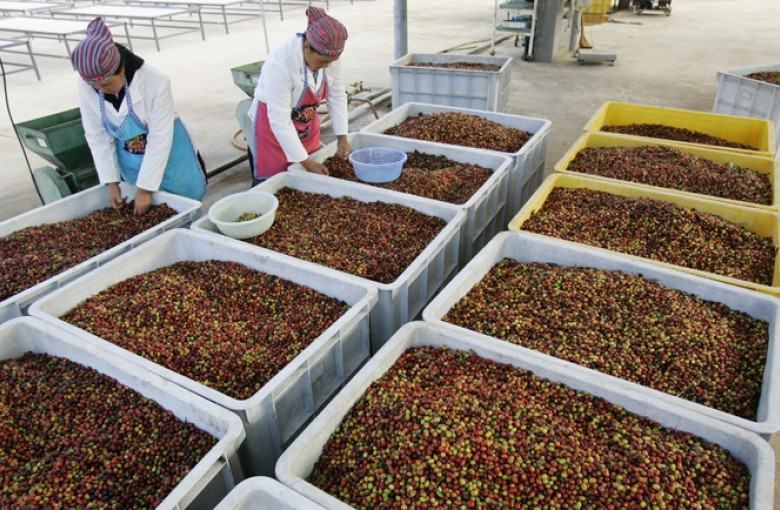 Workers sort coffee beans at a factory in Xinzhai village, Yunnan province.