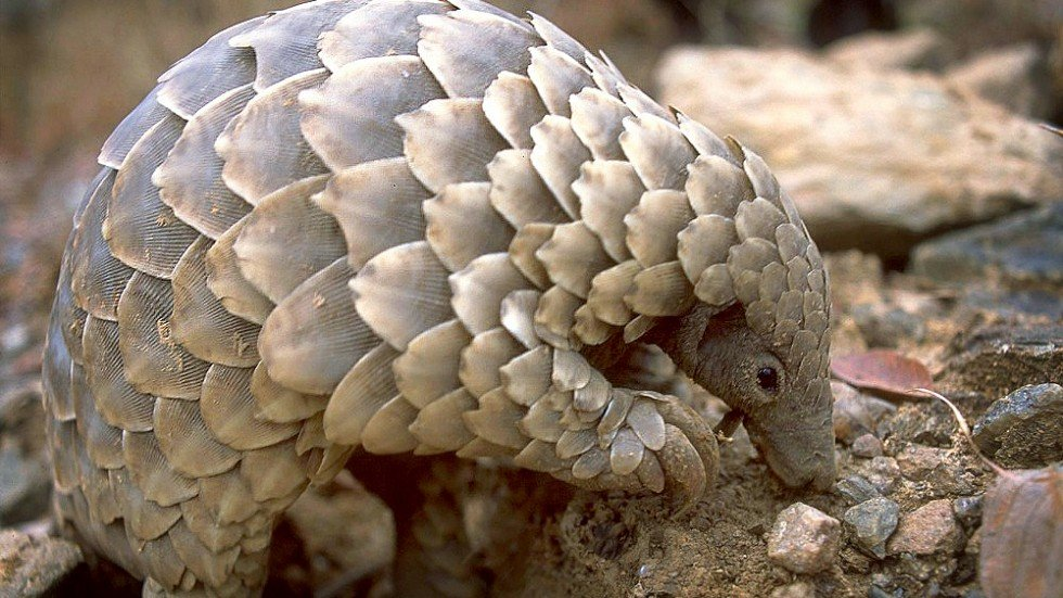 Pangolin scales worth HK$17m found hidden in shipments ...