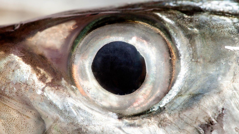 It 39 s a myth you won 39 t see better by eating fish eyes for Fish eyes in paint
