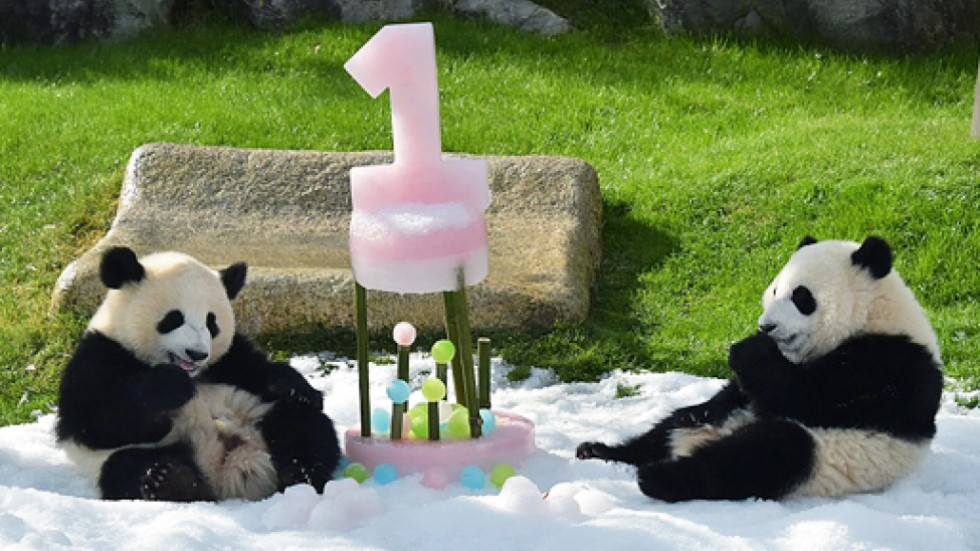 Japans Twin Pandas Ohin And Tohin Turn One Eat Ice Cakes South
