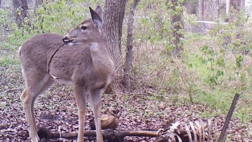 Bambi S Revenge Deer Photographed Gnawing On Human Bones