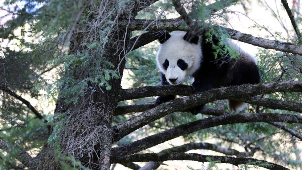 Behind The Urgent Drive To Unite Chinas Giant Panda Habitats In One