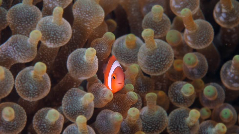 finding nemo may become even harder warming waters put colourful