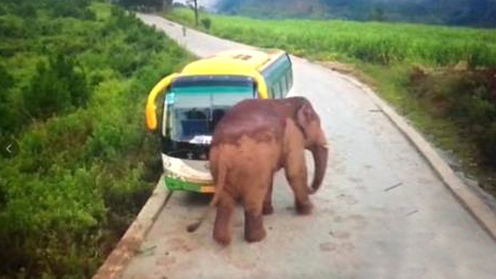 Wild Elephant Attacks Bus In Southwestern China