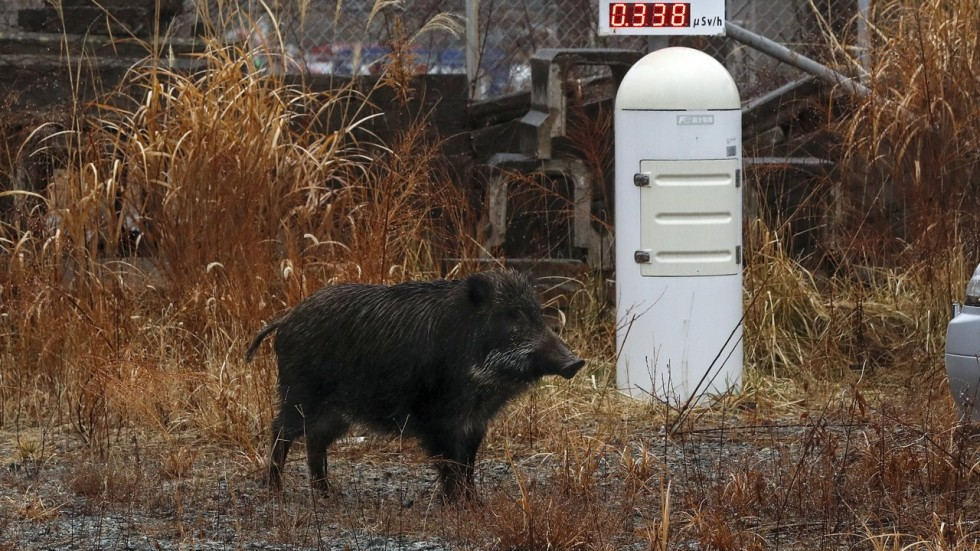 wild boars are taking over japan s small towns and residents are