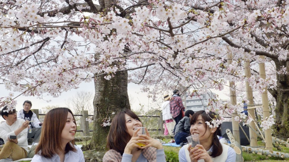 Cherry blossoms dating agency
