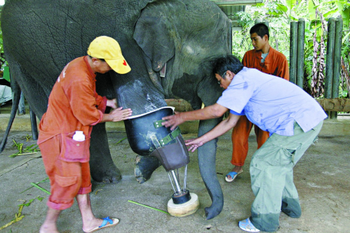 The FAE hospital's chief vet, Preecha Phuangkum (right), is assisted by keepers as he fits Mosha's prosthetic leg.
