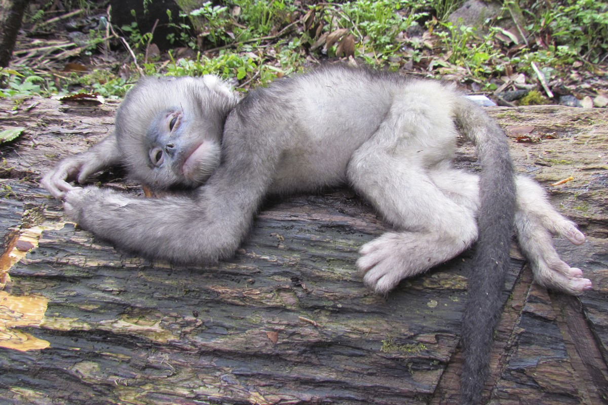 A dead infant Myanmar snub-nosed monkey photographed in 2011.