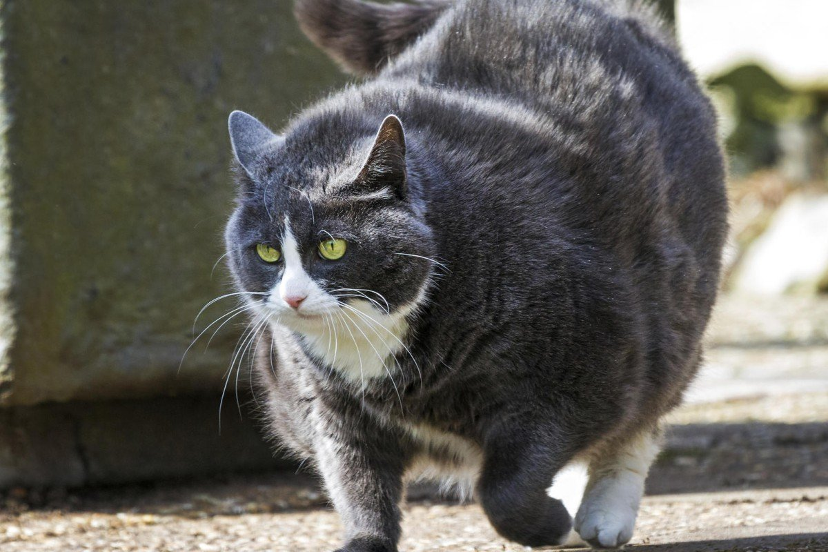 Overweight cats are four times more likely to develop diabetes than healthy felines. Photos: Thinkstock
