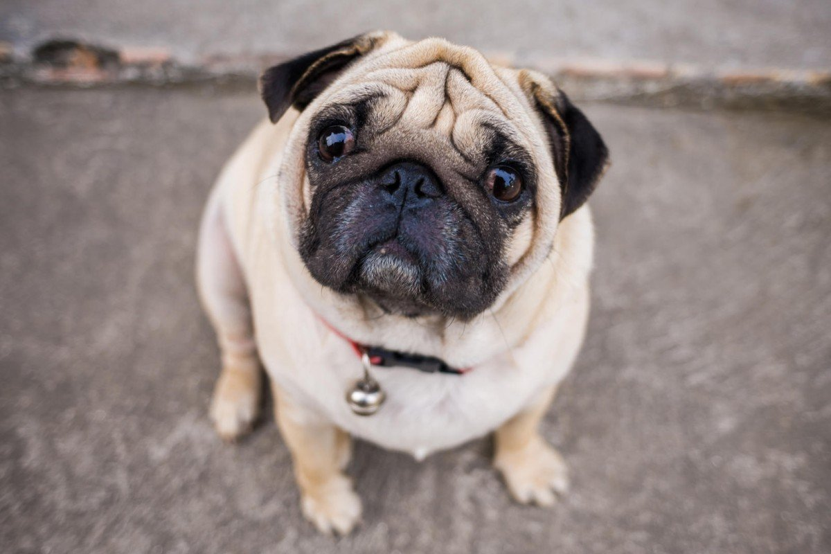 Do not give overweight dogs leftovers, especially those prone to obesity, such as pugs (above). Photos: Thinkstock