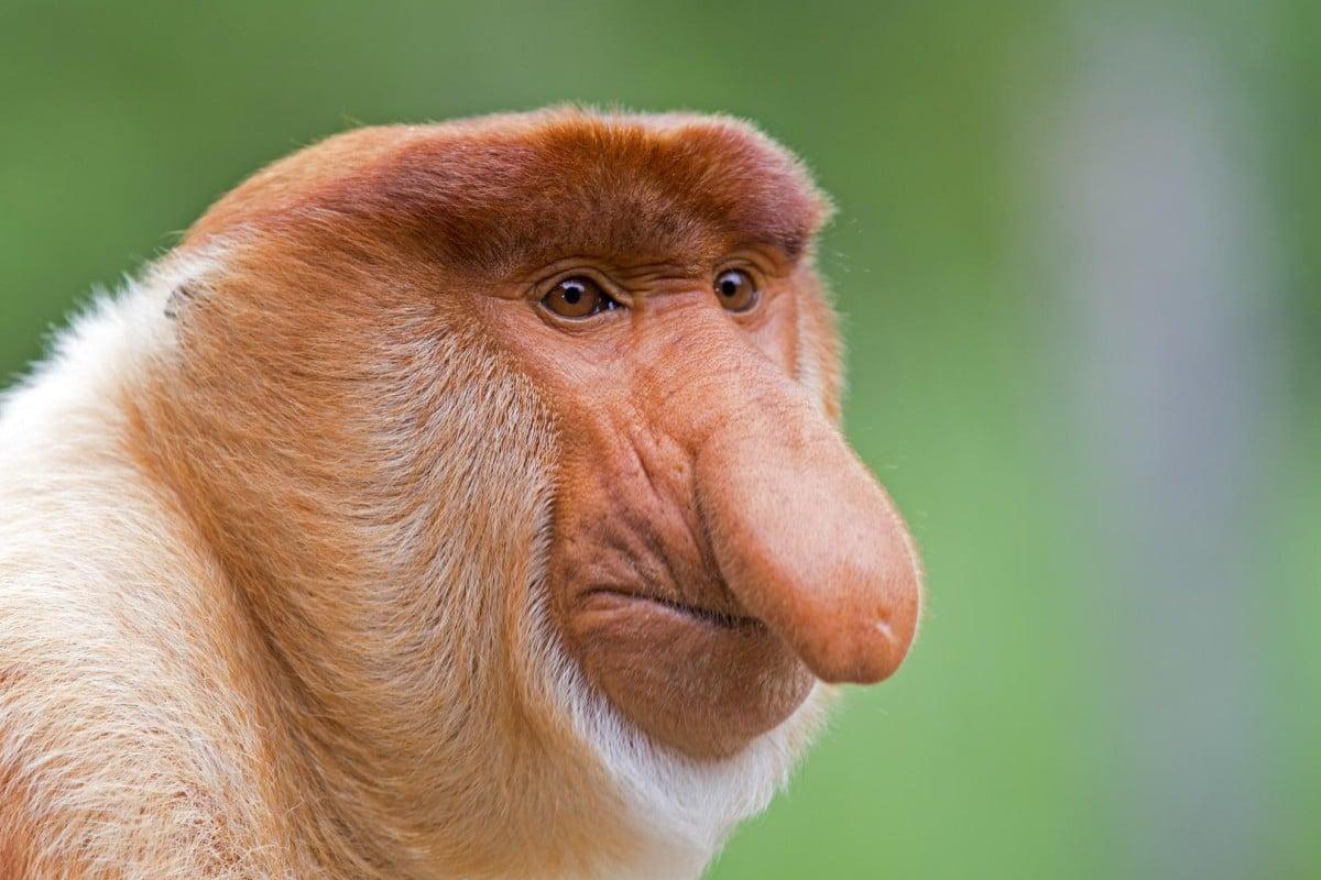 A male proboscis monkey. Photos: Corbis.