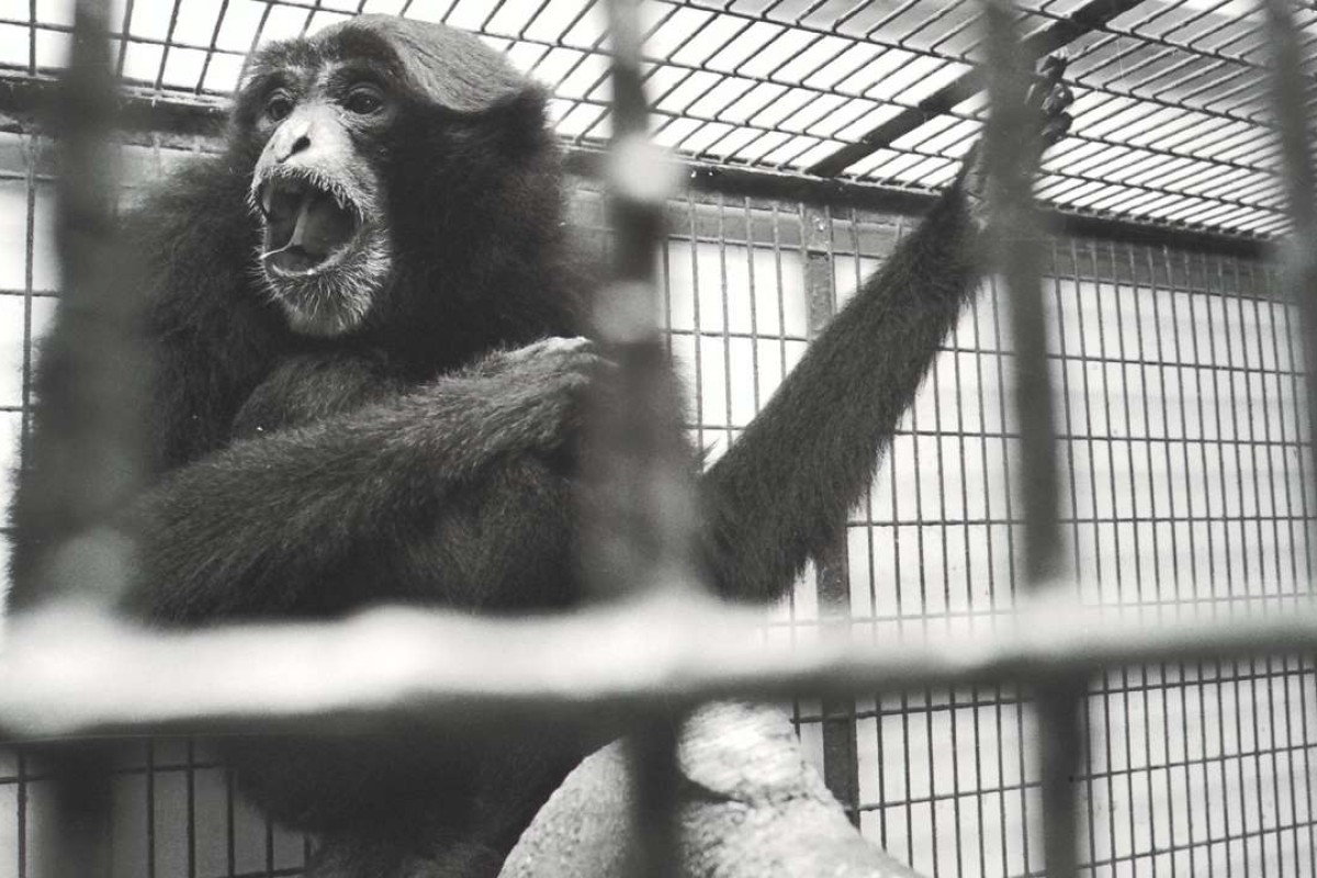 A gibbon at the Hong Kong Zoological and Botanical Garden, 1996.