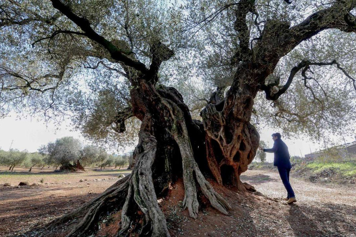 A woman looks at the millennia old olive tree. Photo: AFP