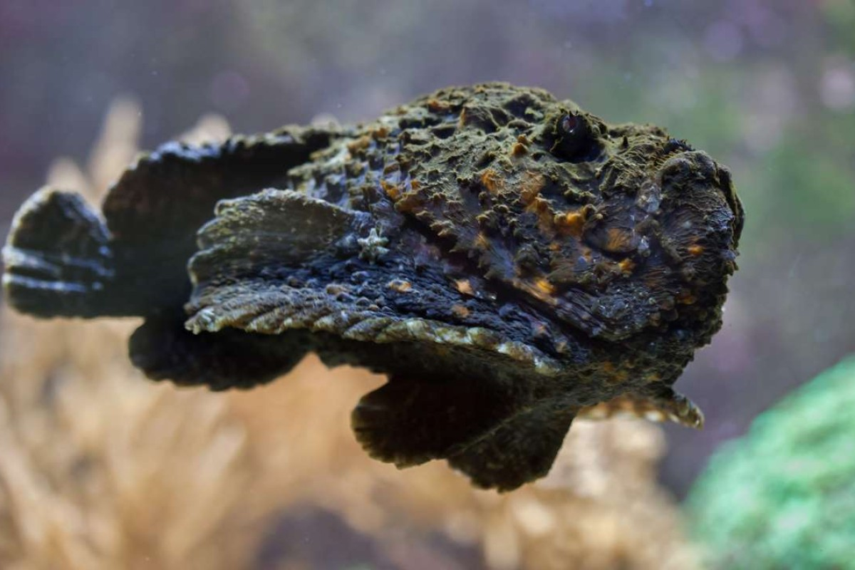 A reef stonefish.