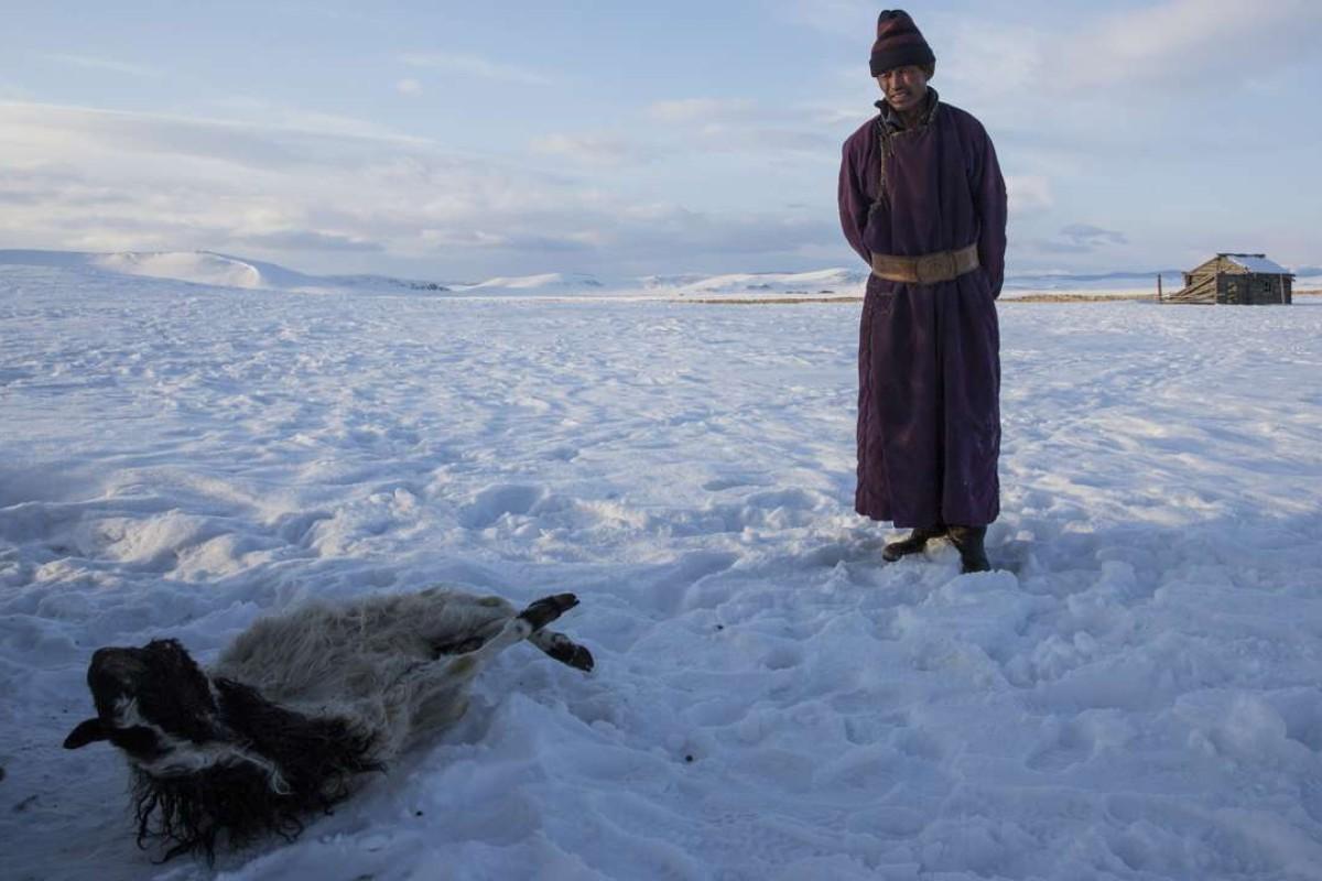 Herder Batsuri Sharkhuu with a dead sheep. Pictures: Taylor Weidman
