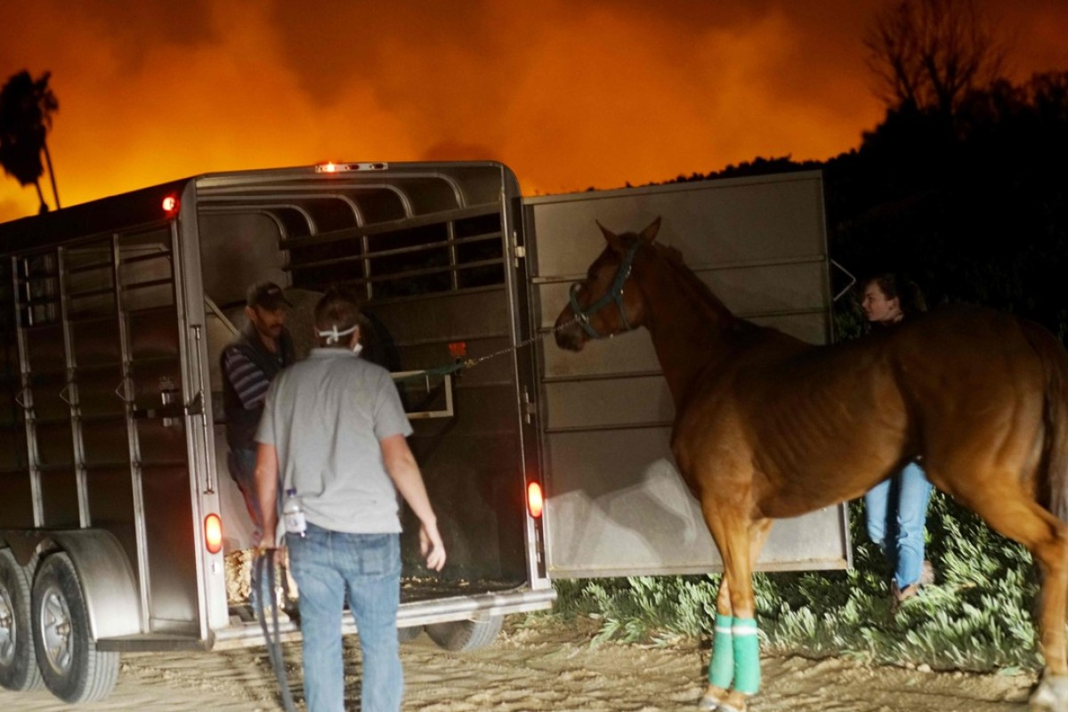 Volunteers rescue horses at a stable during the fires in California. Photo: AFP
