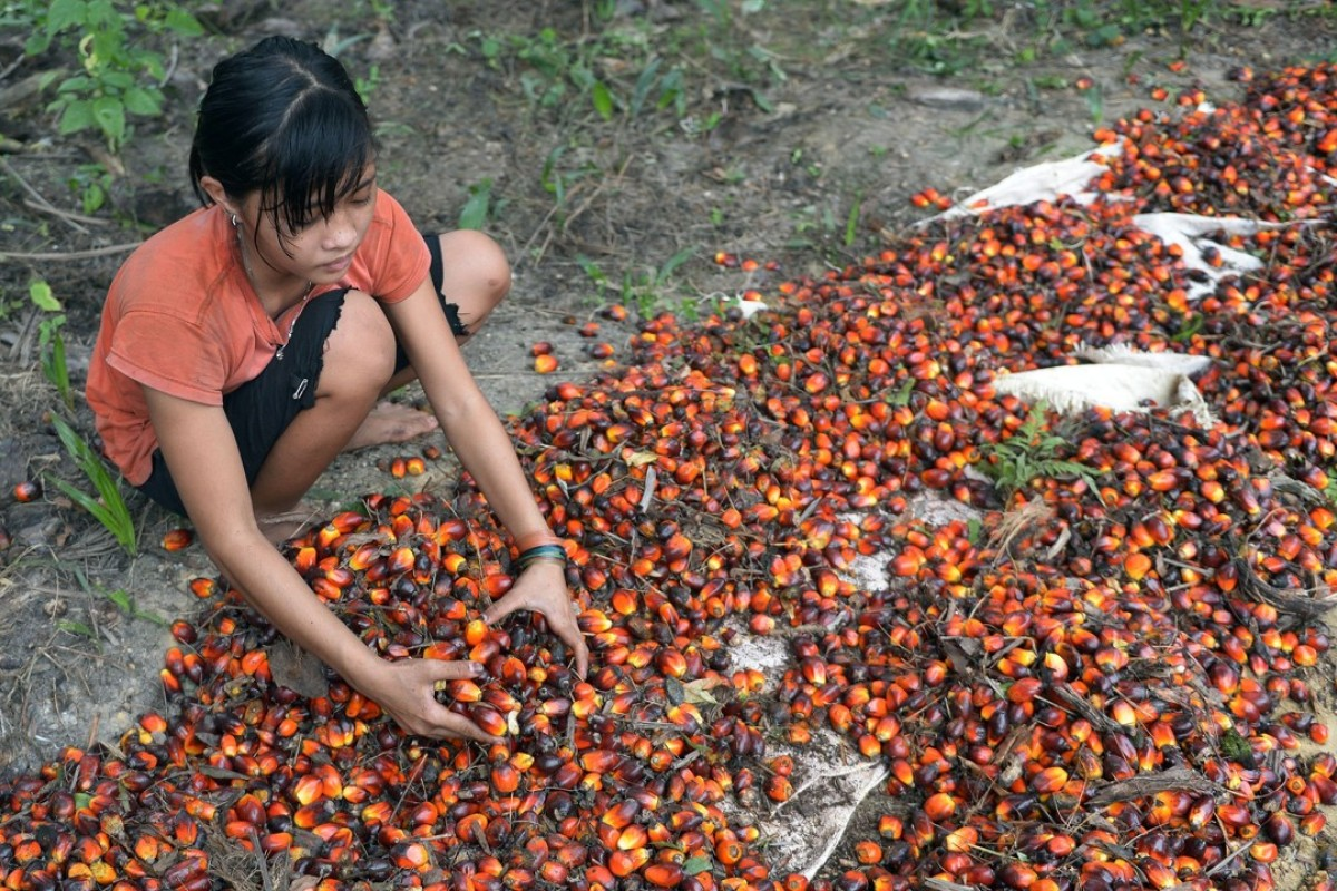 An Indonesian girl works at a palm oil plantation area in Pelalawan, Riau province, Indonesia. Photo: AFP