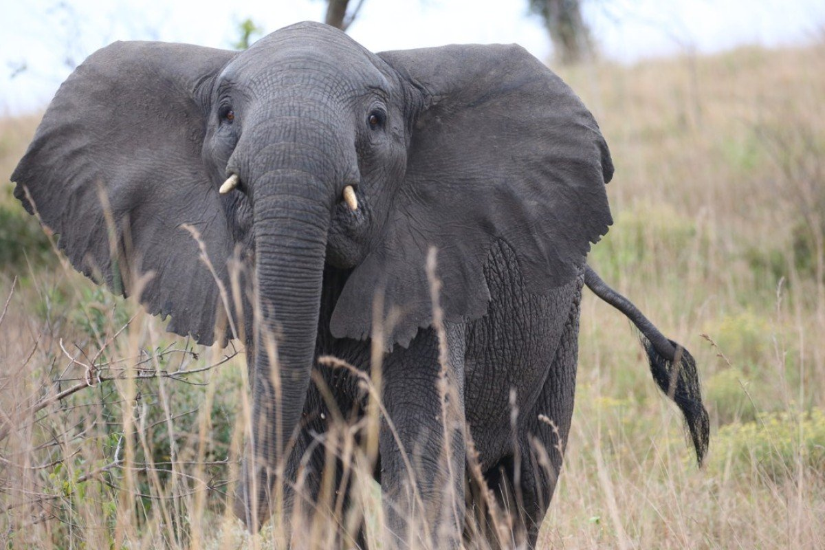 An elephant at Mozambique's Maputo Special Reserve. Pictures: Christopher P. Baker