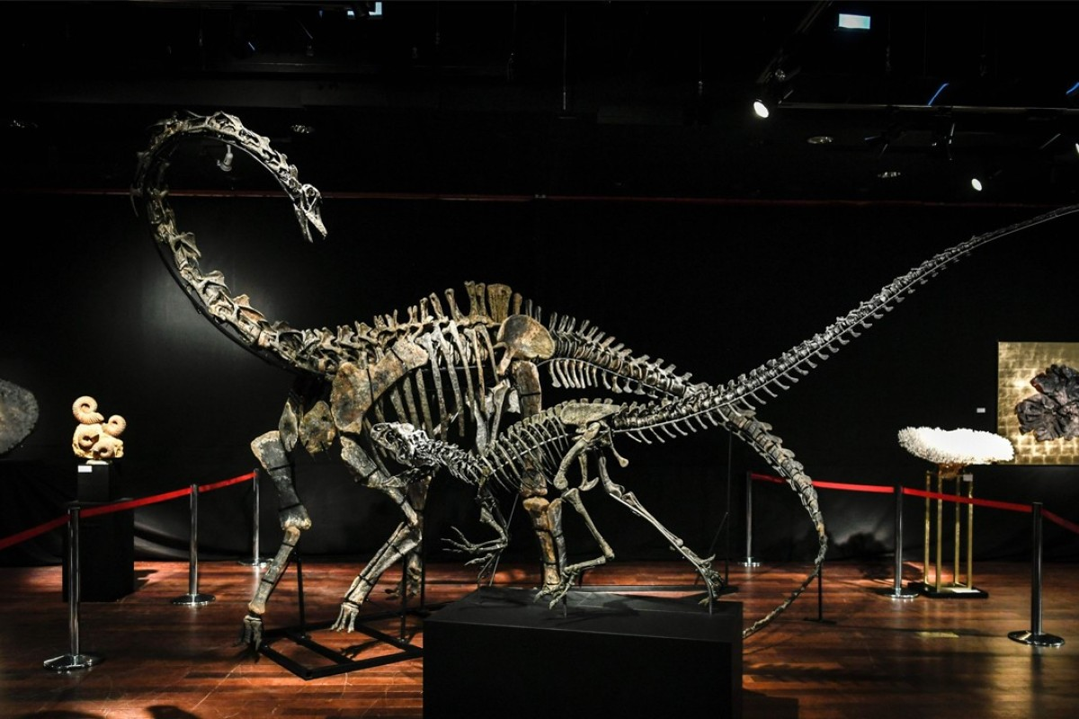The skeletons of two dinosaurs – a diplodocus (rear) and an allosaurus (front) dating from the Jurassic age (161-to 145 million years ago), which will be auctioned today at the Drouot auction house in Paris. Photo: AFP