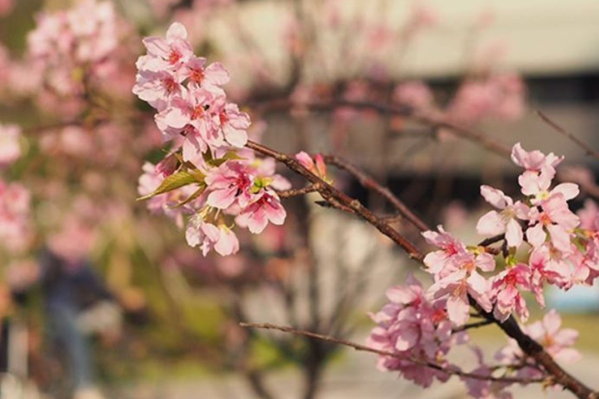 6 places to see cherry blossoms in Hong Kong | Style Magazine ...