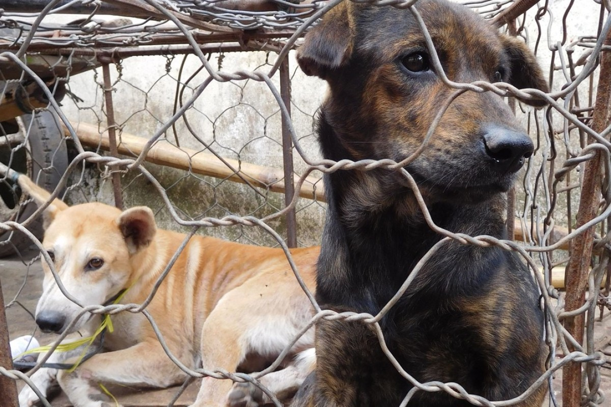 Dogs destined for the dinner table in Indonesia. Photo: AFP