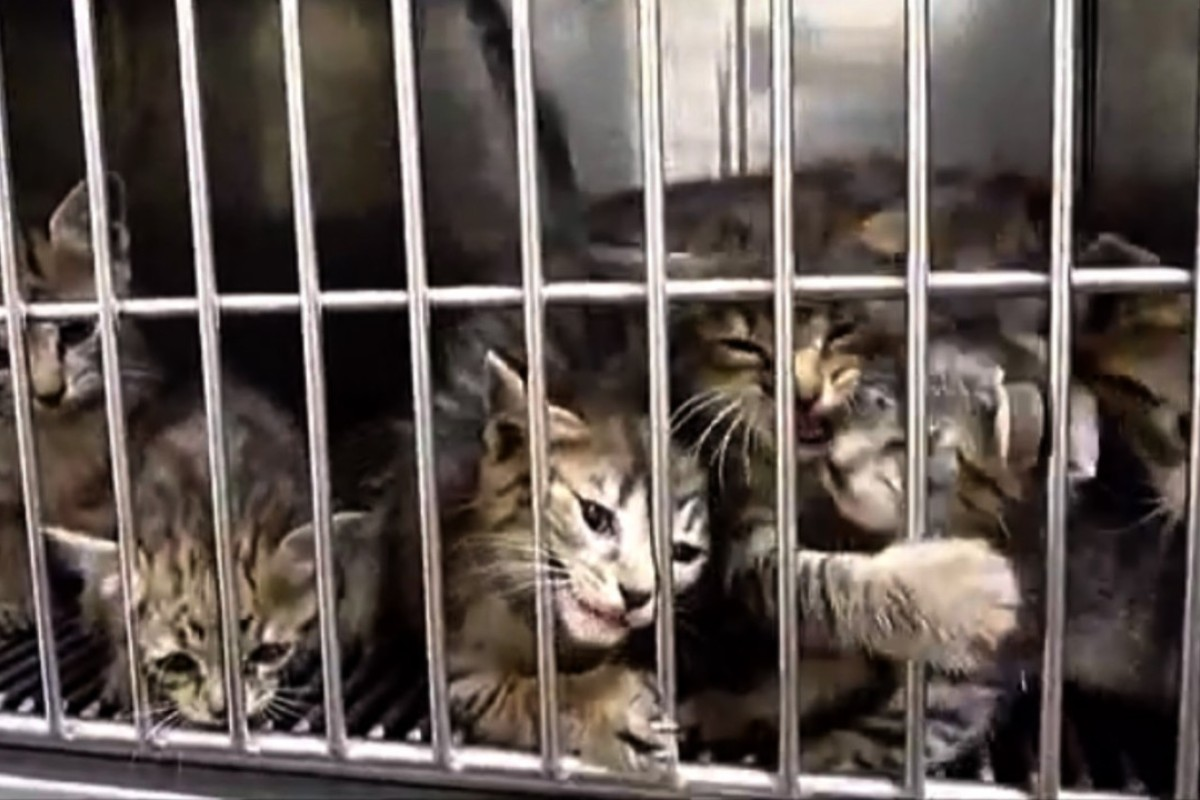 Stray cats wait to be killed at an animal collection and health centre in Japan. The country kills more than 200,000 cats and dogs annually by gassing them with carbon dioxide. Photo: Handout