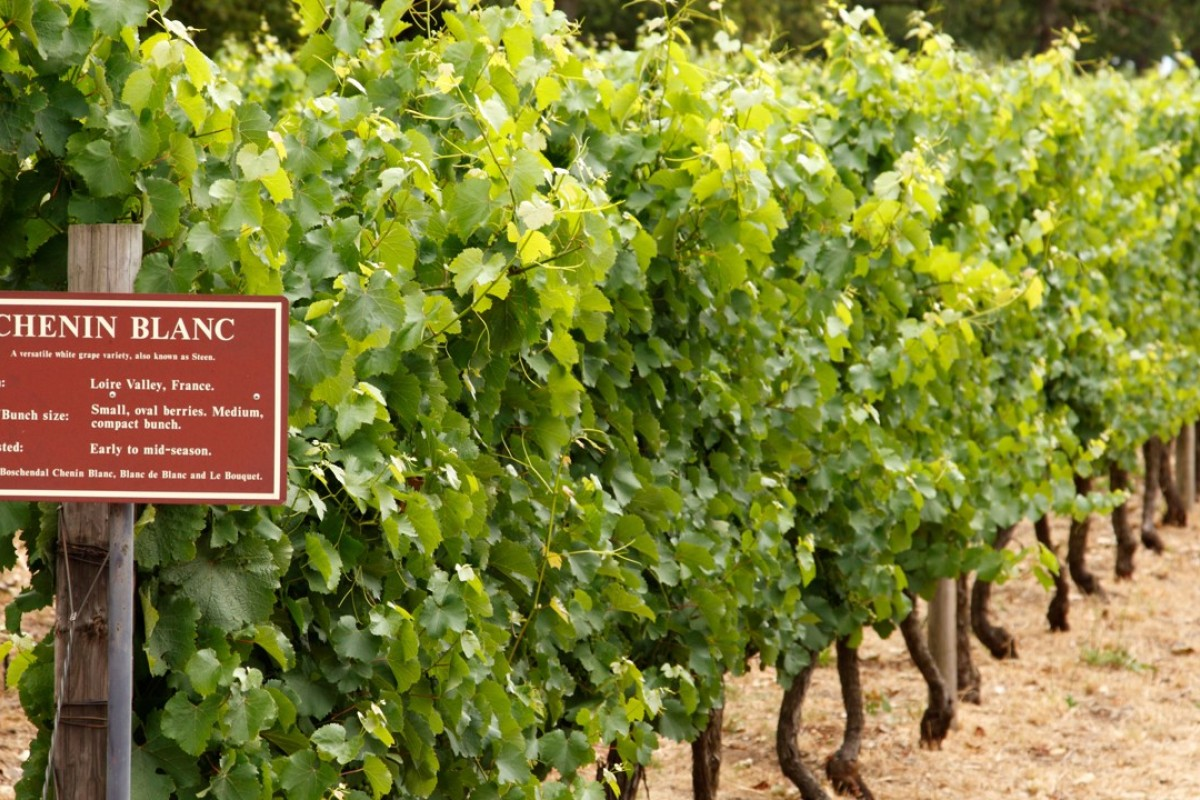 Chenin blanc vines in South Africa. Picture: Alamy