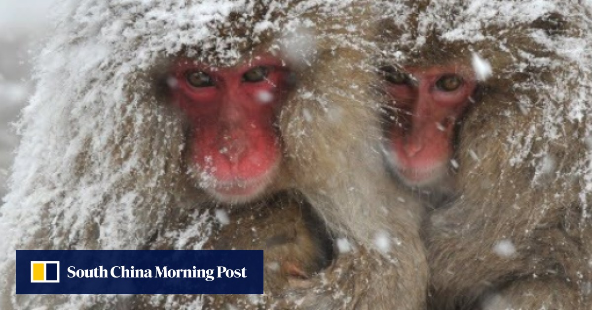 Japanese Alps in winter: snow, sake … and monkeys in hot springs